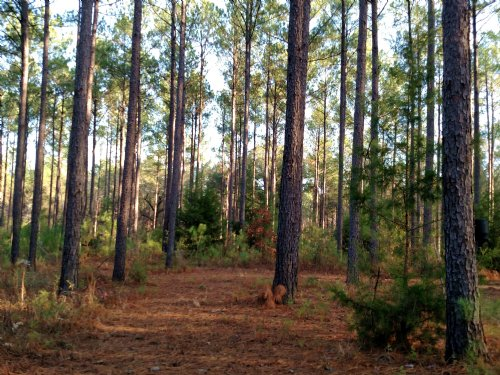 247 Ac Timber Investment : Weston : Webster County : Georgia