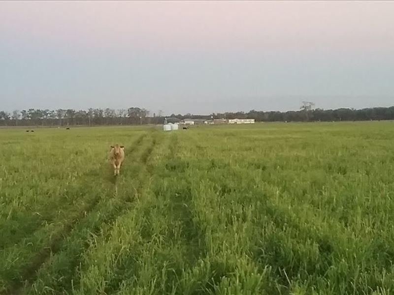 496 Acre Working Cattle Farm : Live Oak : Suwannee County : Florida