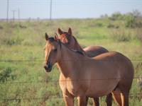 Cattle Ranch Auction - 786 Acres : Electr : Wichita County : Texas