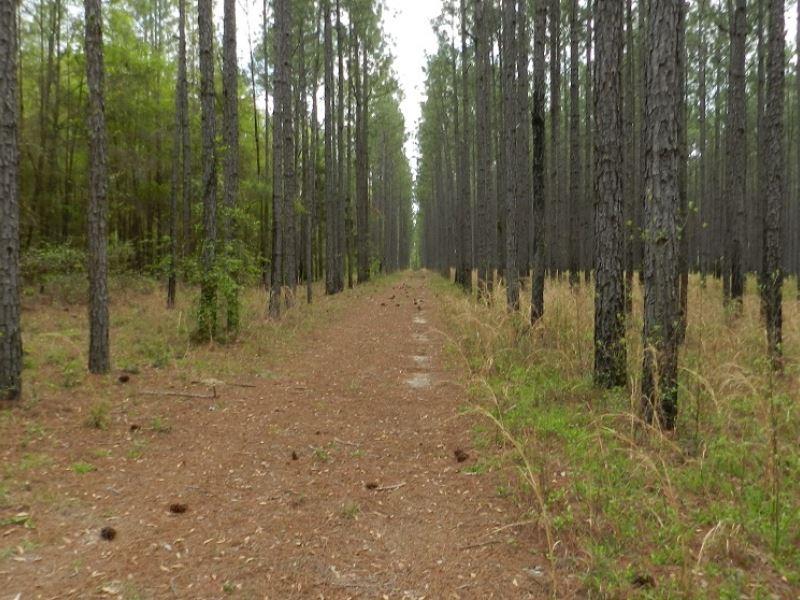 Pine Tree Timber On Recreational Tr : Vienna : Dooly County : Georgia
