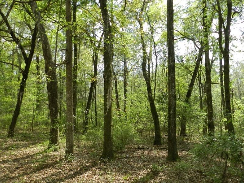 Recreational Tract Hunting / Campi : Vienna : Dooly County : Georgia