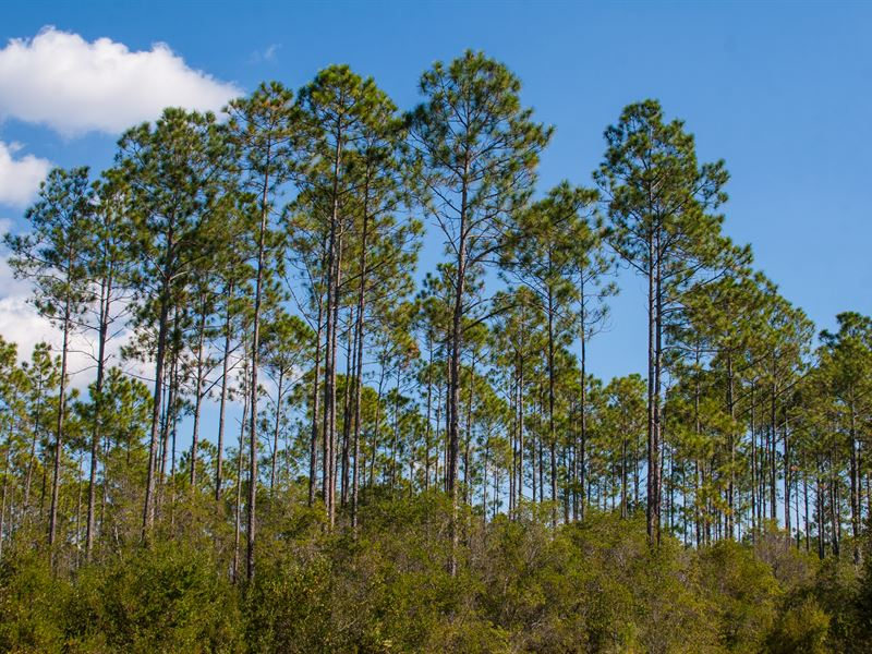 Timber/Hunting Next To State Land : Monticello : Jefferson County : Florida