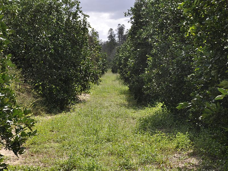 Hidden Grove Road 30 Acre Grove : Clermont : Lake County : Florida