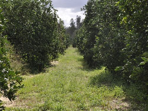 Hidden Grove Road 30 Acre Grove : Clermont : Lake County : Florida