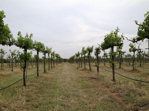 Texas Vineyard For Sale : Rising Star : Eastland County : Texas
