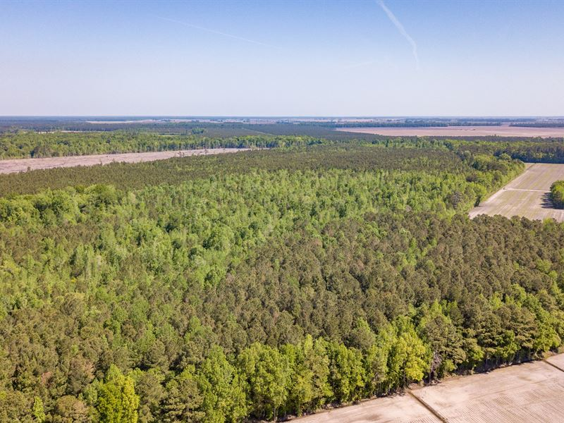 Great Timber Investment / Hunting : Pinetown : Beaufort County : North Carolina