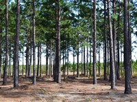 Old Georgetown Longleaf Pines : Cassatt : Kershaw County : South Carolina