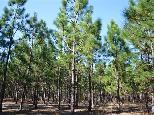 Bell Branch Longleaf Pines Tract : Cassatt : Kershaw County : South Carolina