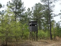 Deer, Pines, Quiet Country Setting : Kershaw : Kershaw County : South Carolina
