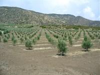 Rancho San Felipe Olive Orchard : Warner Springs : San Diego County : California