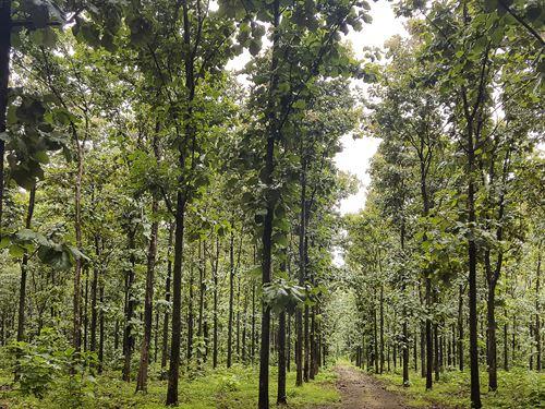 Nicoya Teak Plantations : Nicoya : Costa Rica
