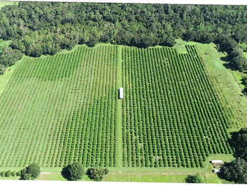 24 Acre Peach Grove : Bartow : Polk County : Florida