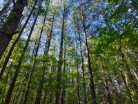 80 Acres Of Hardwood/Mature Pine : Blair : Fairfield County : South Carolina