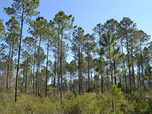 Waccasassa River Tract : Gulf Hammock : Levy County : Florida