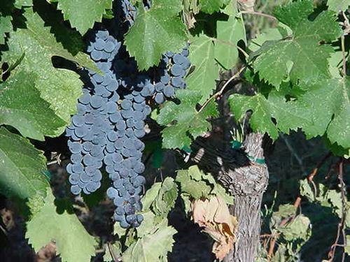 Amador County Vineyard And Winery : Sutter Creek : San Diego County : California