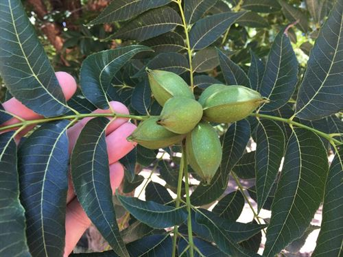 Irrigated Pecan Orchard Lubbock : Shallowater : Lubbock County : Texas