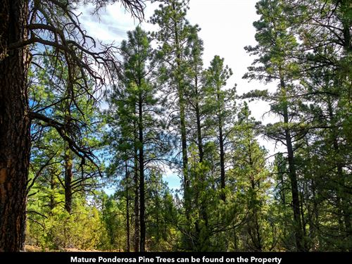 Wooded Acres By National Forest : Grants : Cibola County : New Mexico