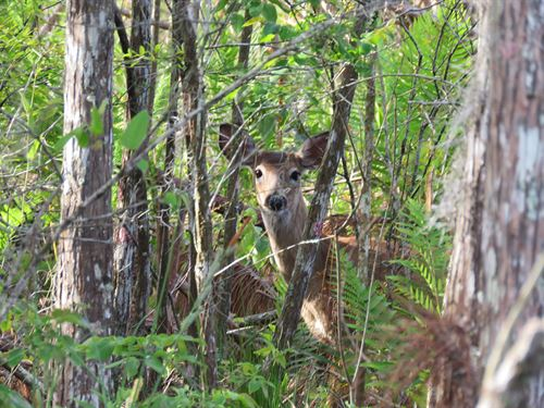 Levy Timber And Wildlife : Cheifland : Levy County : Florida