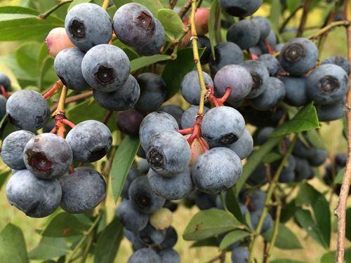 Rhondas Blueberries Farm : Union Point : Oglethorpe County : Georgia