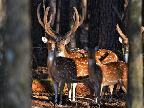 The Highway 98 Axis Deer Trophy Ret : Lucedale : George County : Mississippi