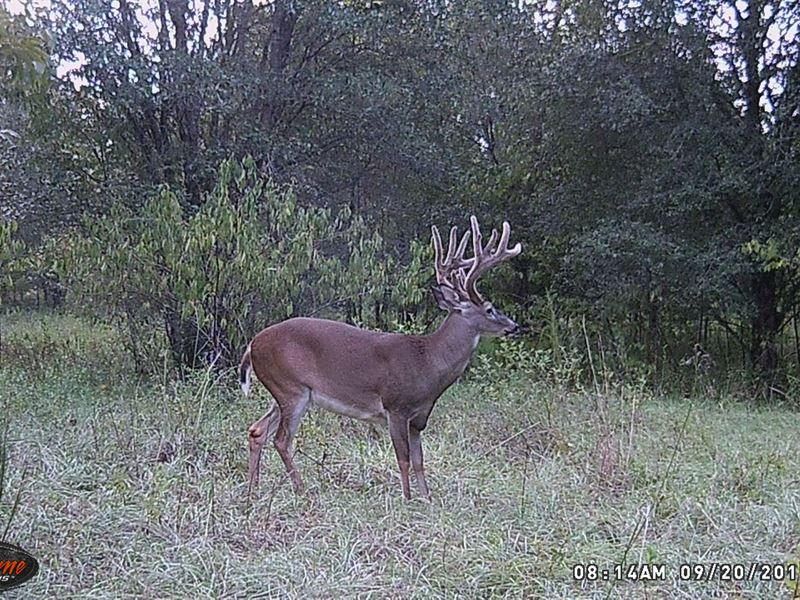 Cropland Big Timber and Huge Deer : Slocomb : Houston County : Alabama