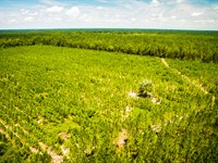 Hardwood And Pine Plantation : Ludowici : Long County : Georgia