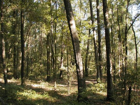 Prime Hunting and Timber in Florida : Jasper : Hamilton County : Florida