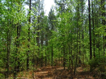 279 Acre Timberland Tract : Clinton : Laurens County : South Carolina