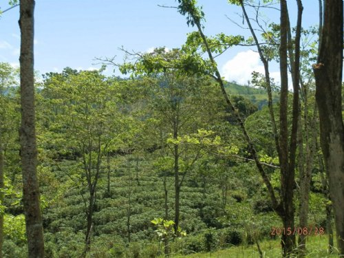 621 Ac Coffee Finca - Reduced Price : La Suiza De Turrialba : Costa Rica