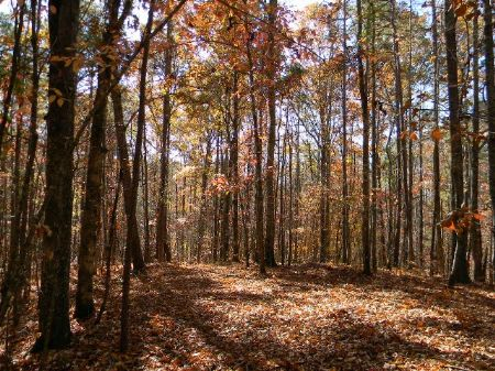 Mature, Natural Timber- Recreation : Mellow Valley : Clay County : Alabama