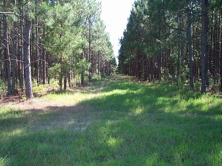 Reduced  231.33 Acre Timber Tract : Swainsboro : Treutlen County : Georgia