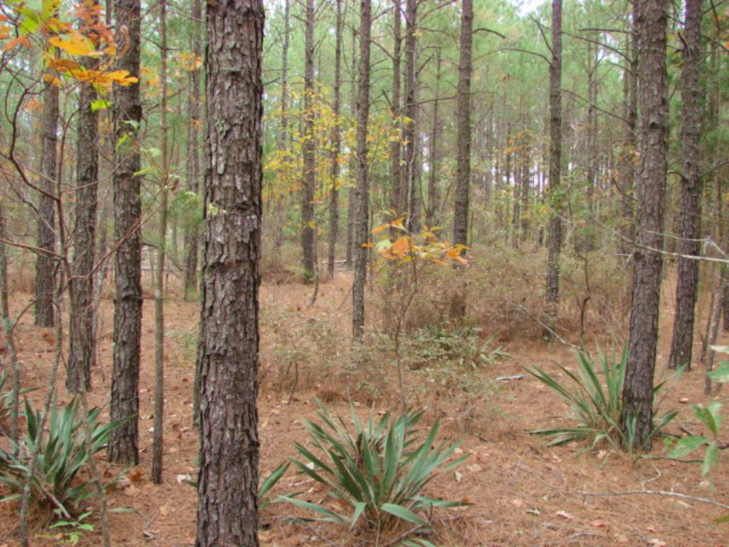 300 Acre Timber/hunting Tract : Buena Vista : Marion County : Georgia