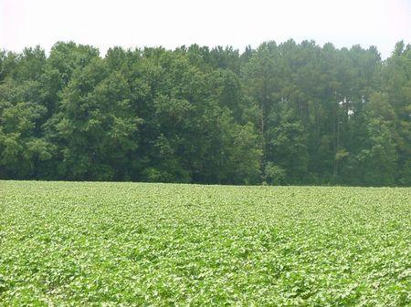 White Oaks Tract - 144 Acres : Sardis : Burke County : Georgia