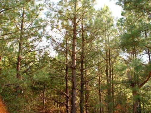 14.1 Wooded Acres W/ Previous Perk : King William : Virginia