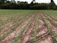 156 Acres Farmland : Ruthton : Pipestone County : Minnesota