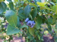 Blueberry Farm On The Black River : Bangor : Van Buren County : Michigan