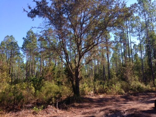432 Acres Gorgeous Timber & Hunting : White Oak : Camden County : Georgia