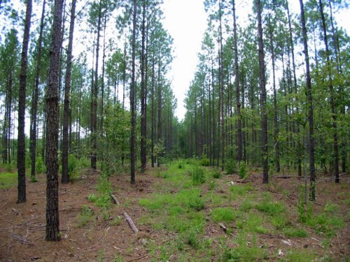 48.8 Acres Planted Pines & Cutover : Wrightsville : Johnson County : Georgia